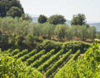 Excursión «Viñedos y Olivares» en la Región de Montpellier